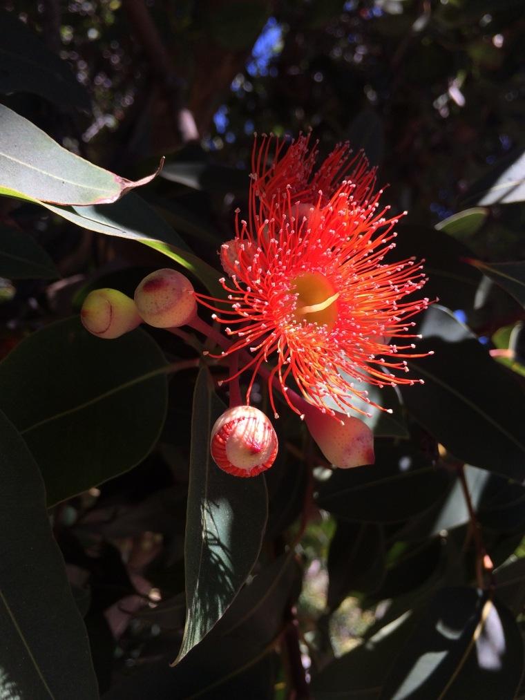 Corymbia red 2