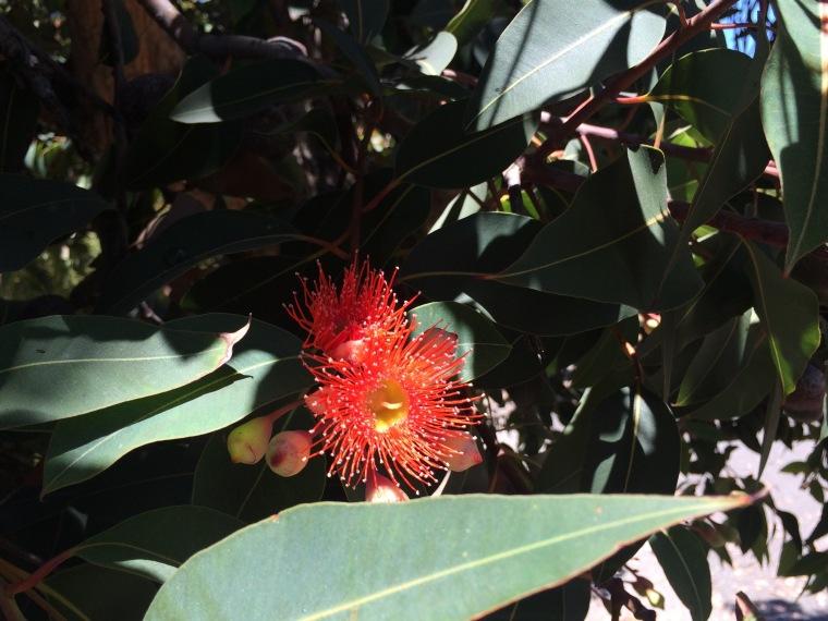 Corymbia red 3