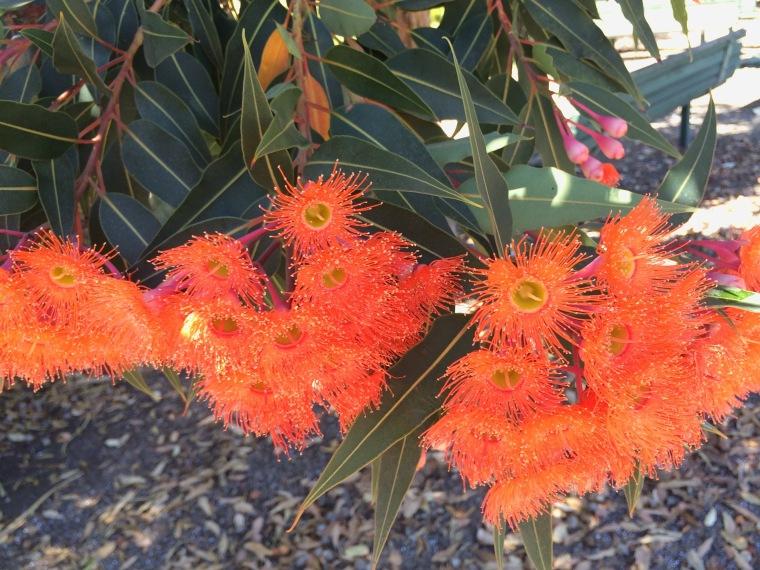 Corymbia red 4