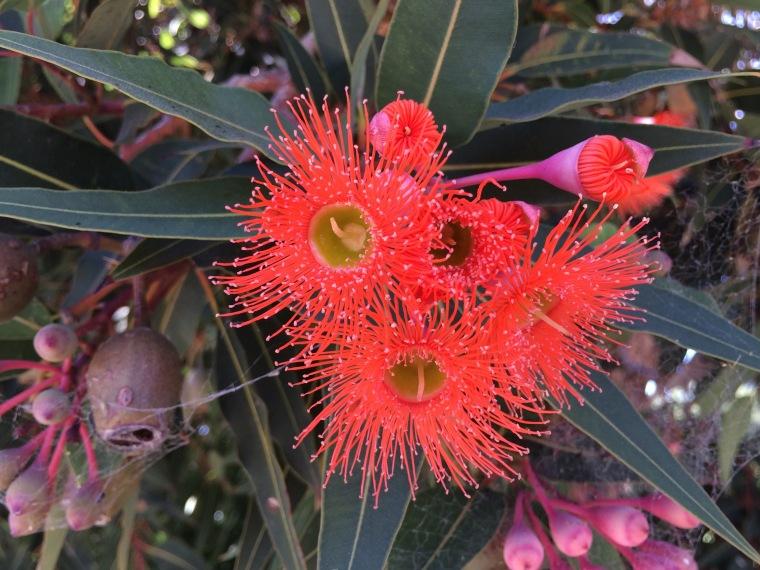 Corymbia red 5
