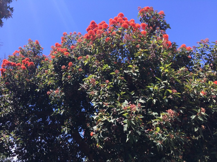 Corymbia tree blooming