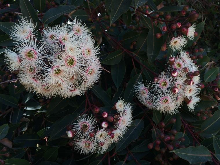 Corymbia white