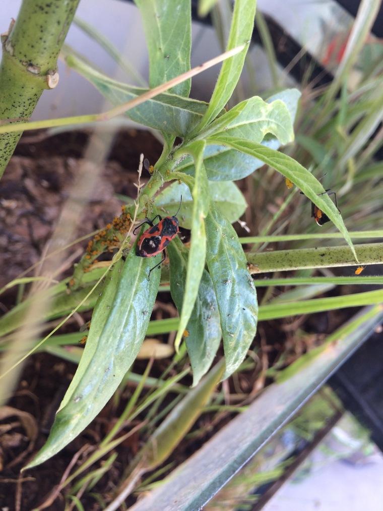 Lygaeus kalmii on milkweed
