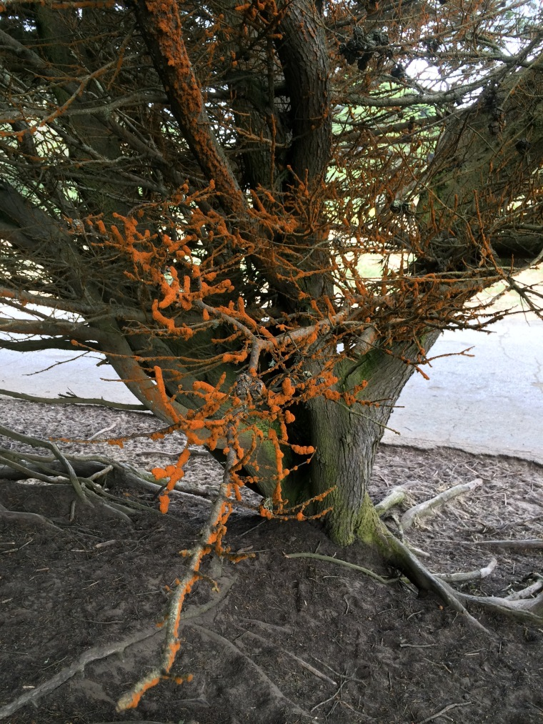 Orange algae in cypress
