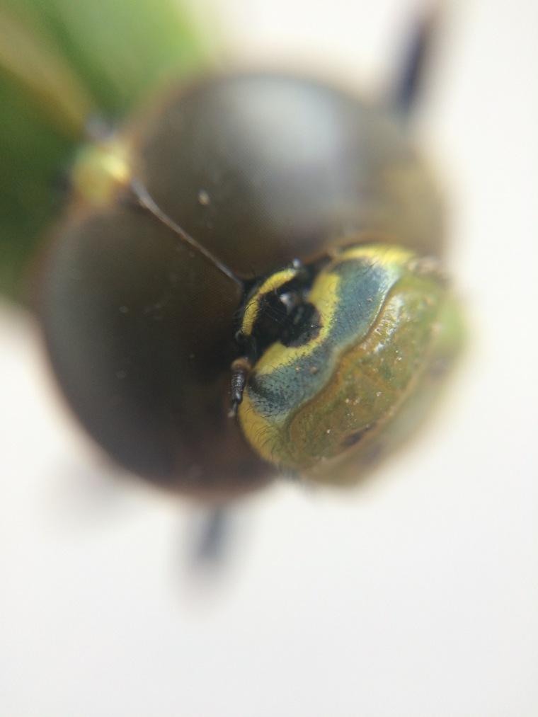 Anax junius bullseye