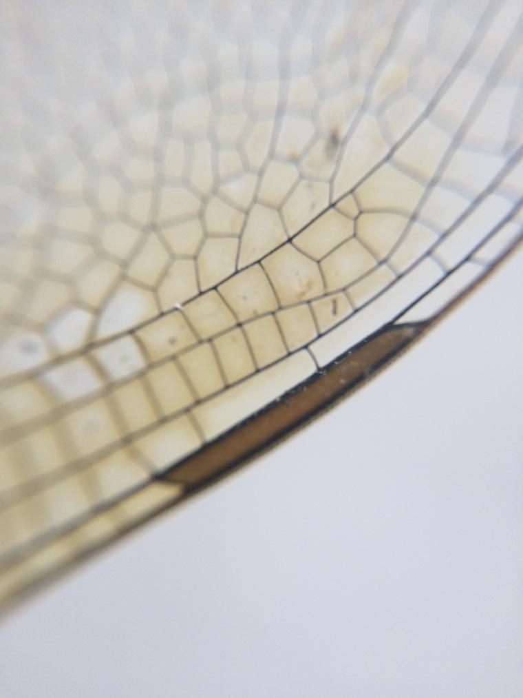 Anax junius pterostigma