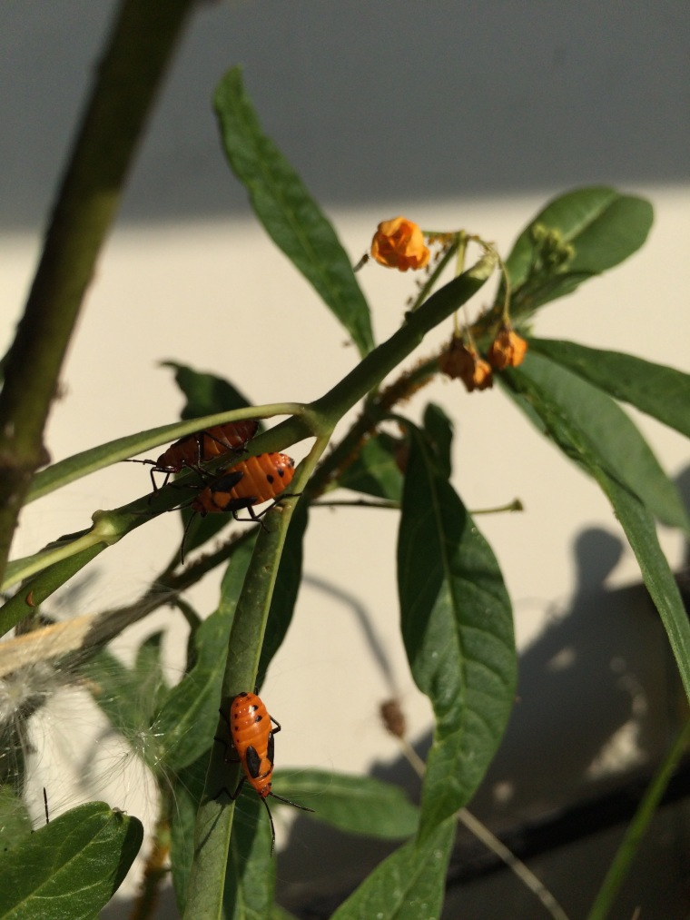 Oncopeltus nymphs