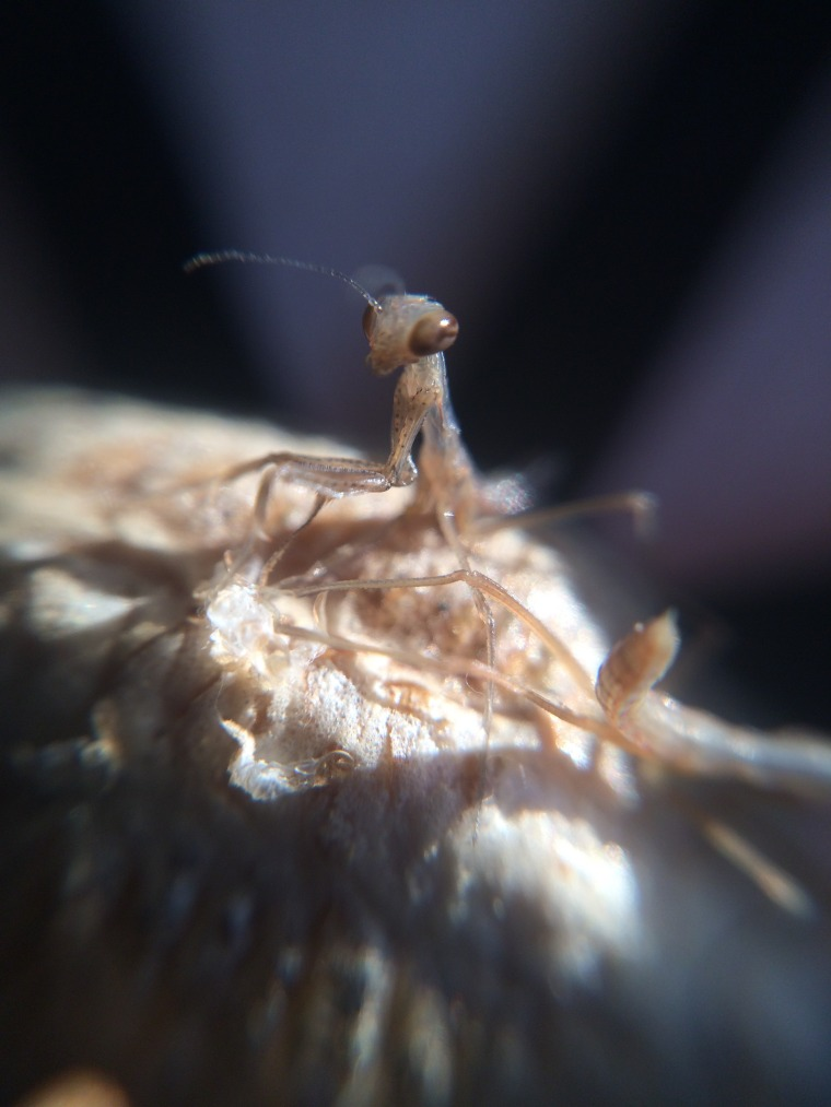 Mantis religiosa nymphs 3