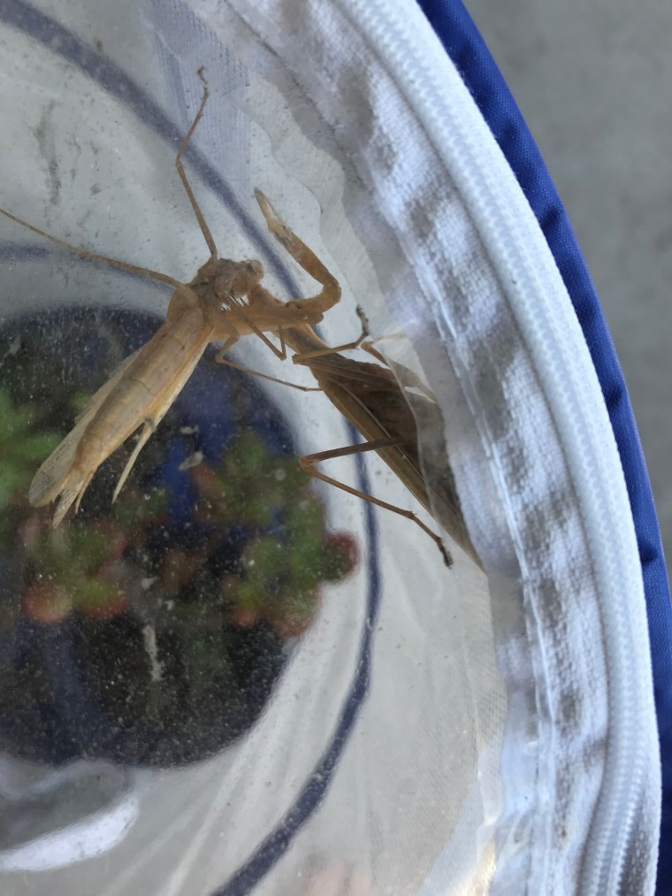 Female Mantis religiosa eating male