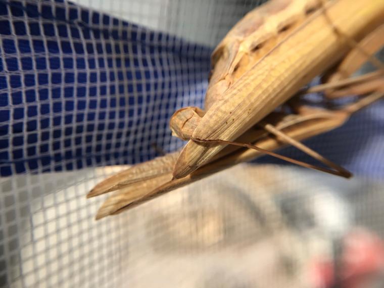 Mantis religiosa mating
