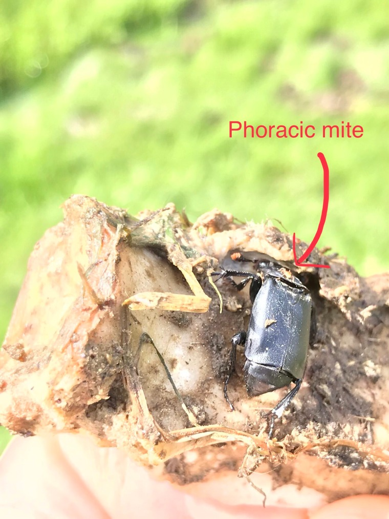 phoracic mite carrion beetle